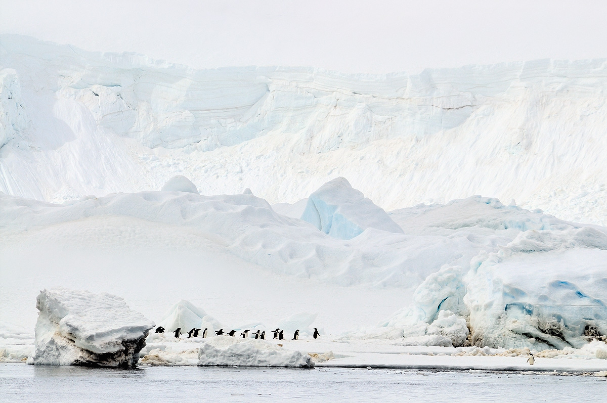 Adelie Penguins; Madder Cliffs; Antarctic Sound