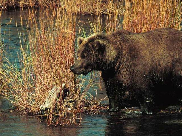 Alaskan Brown Bear (Grizzly) (1)