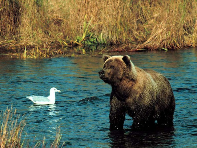 Alaskan Brown Bear (Grizzly) (4)