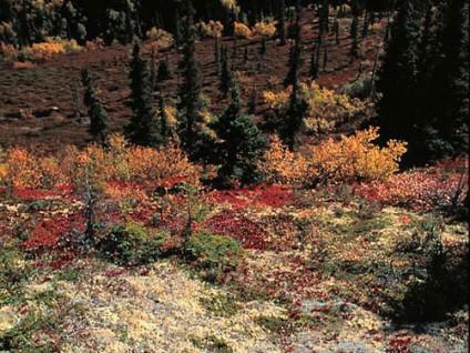 Alaskan Tundra (1)