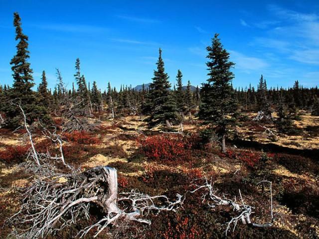 Alaskan Tundra (2)