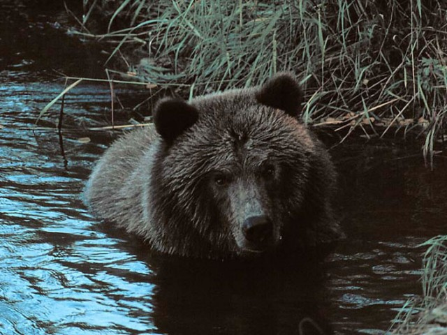Alaskan Brown Bear (Grizzly) (2)