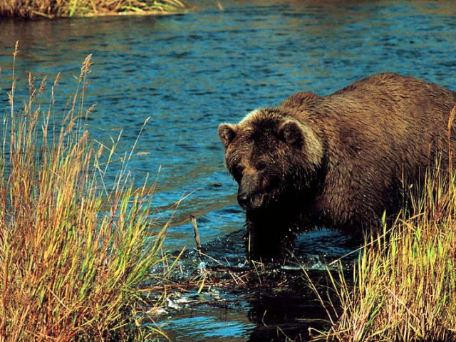 Alaskan Brown Bear (Grizzly) (3)
