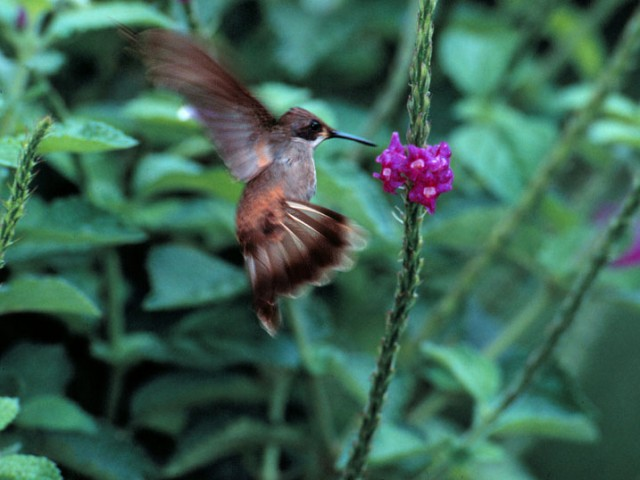 Band-tailed Barbthroat (Young)