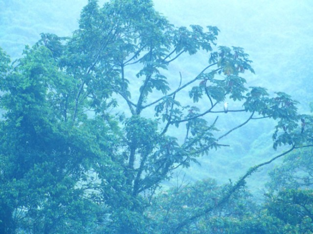Black and White Hawk-Eagle – Misty Cloudforest