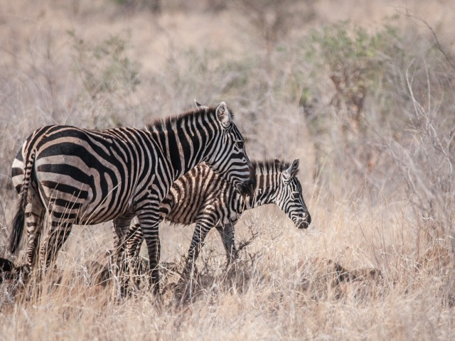 Common Zebra Pair