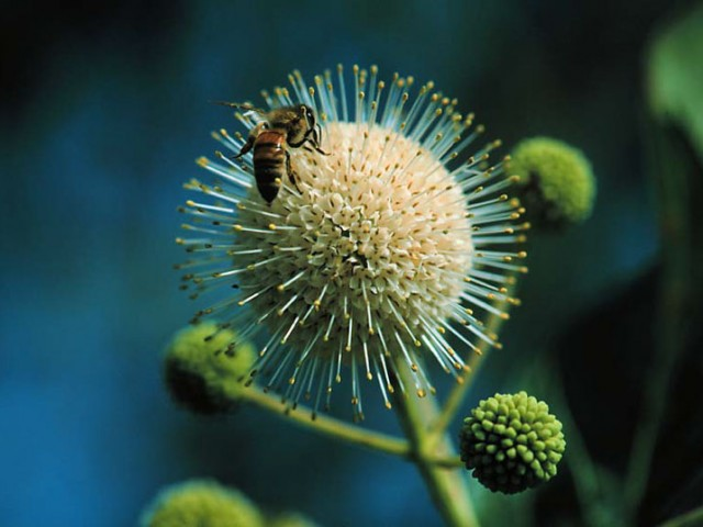Buttonbush and Bee