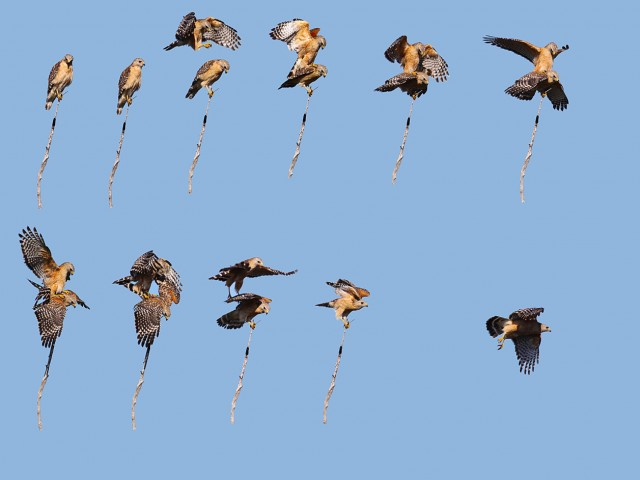 Red-Shouldered Hawk Sequence by Dr. Lester Shalloway