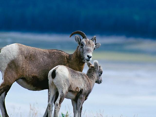 Bighorn (Mountain) Sheep