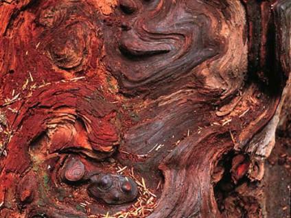 Wood Burl