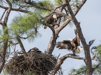 Bald Eagle Nest – Feeding Time