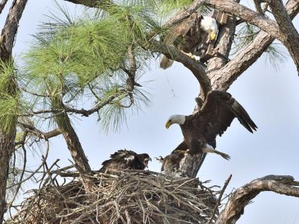 Bald Eagle Nest – Feeding Time