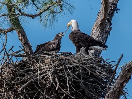 Bald Eagle and Eaglet Feeding