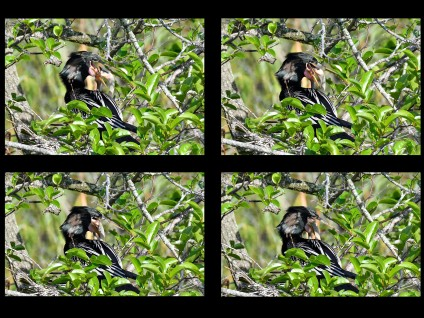 Anhinga Feeding Sequence – Father and Three Day Old Baby