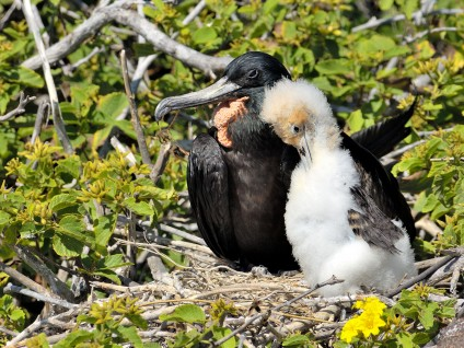 Magnificent Frigatebird Nest