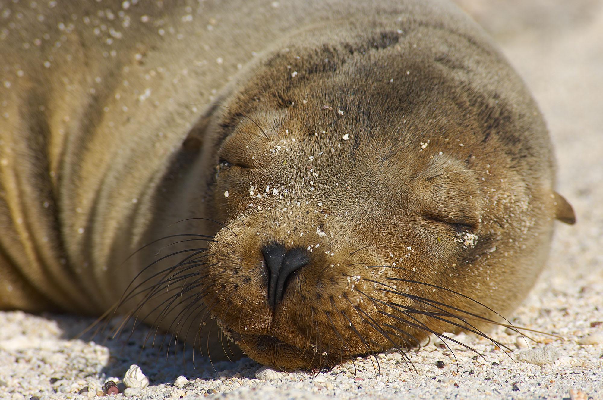 Galapagos Fur Seal _DSC2314